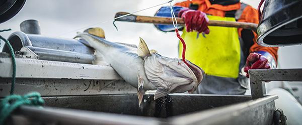 Overvågning af fiskere sikrer torsk fra at ryge overbord
