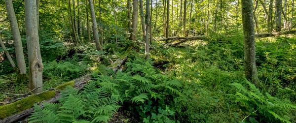 20 procent af Frederikshavn Kommunes skove udlægges til urørt skov
