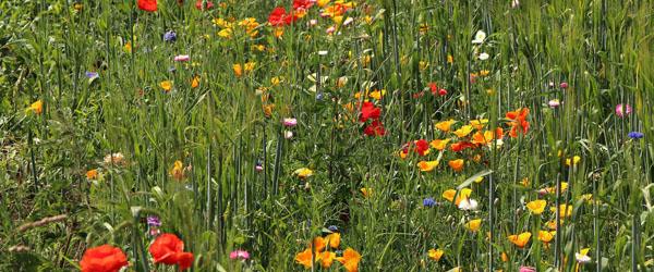 Markblomster fremfor højt græs gavner både bier og allergikere