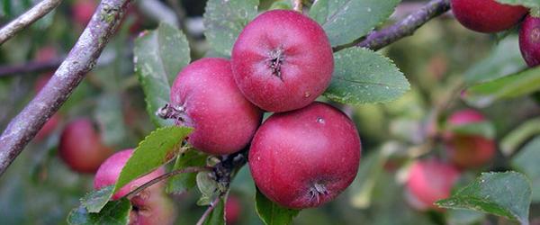 2000 elever går på æblerov i Frederikshavn