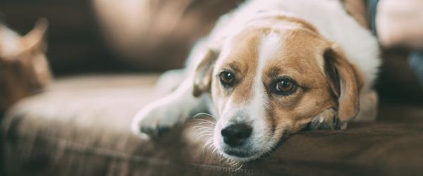 Guide: Undgå at hunden får angst nytårsaften