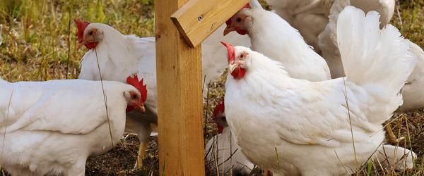 I dag må hønsene igen komme ud i det fri